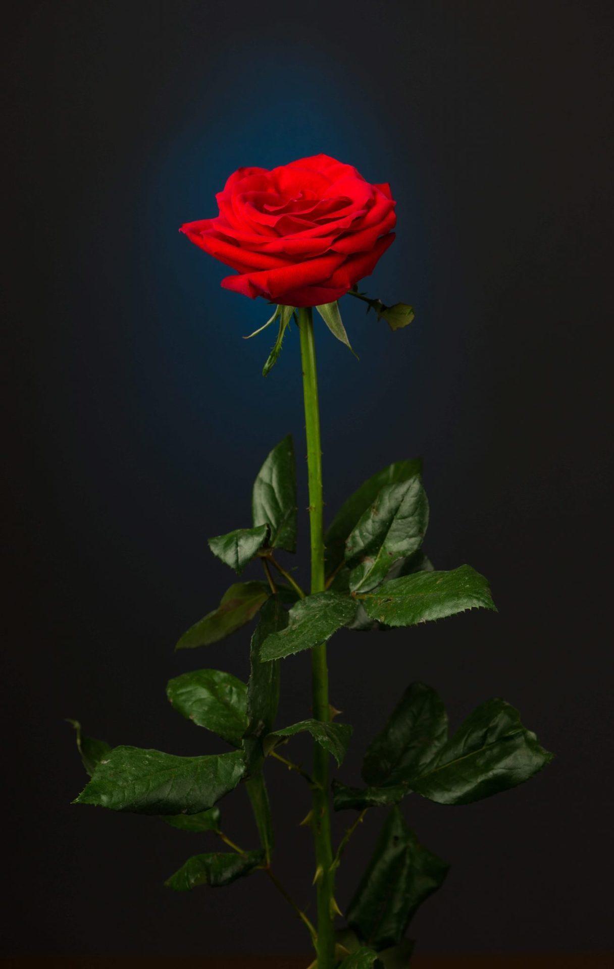 red-rose-on-black-background.jpg